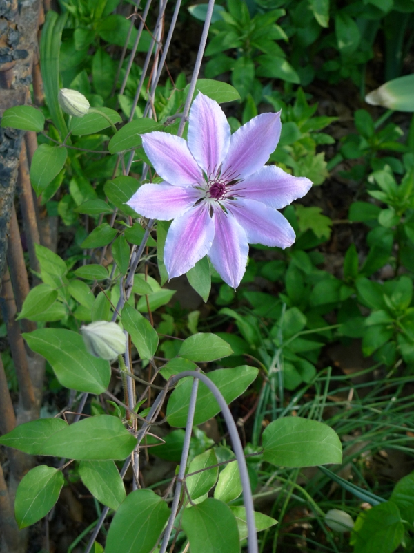 First Clematis of the season