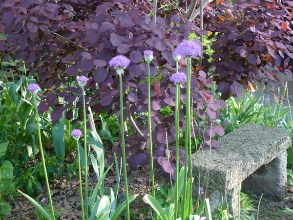 alliums, garden bench and purple smoke tree in front yard